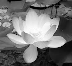 lotusflower-2